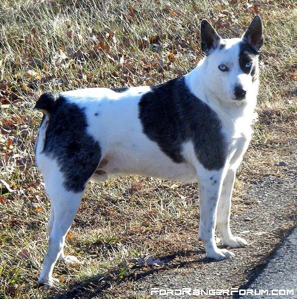 -texas-heeler-hybrid-mix-between-australian-shepherd-blue-heeler.jpg