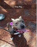 My blue nose pit, Piggy